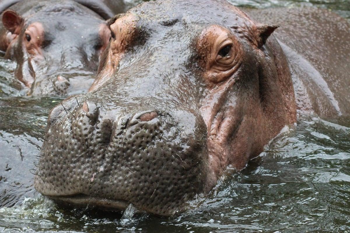 hippopotamus-979486_1280
